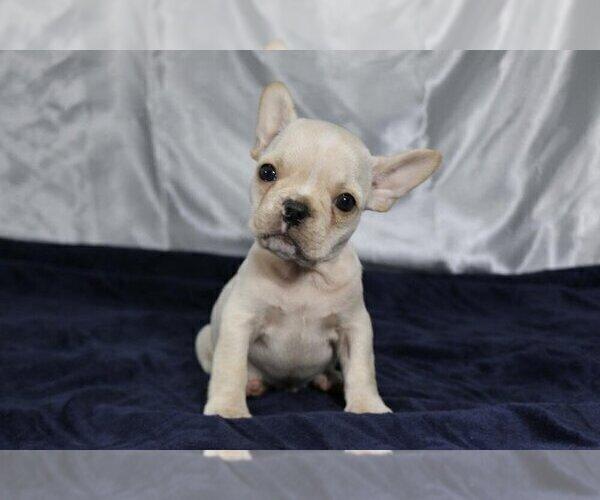 Medium Photo #1 French Bulldog Puppy For Sale in HOUSTON, TX, USA