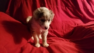 Border Collie Puppy For Sale in CHINO VALLEY, AZ, USA