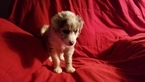 Border Collie Puppy For Sale in CHINO VALLEY, AZ