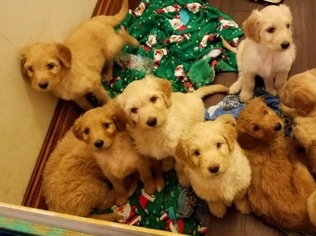 Goldendoodle Puppy For Sale in CLEVELAND, OH, USA
