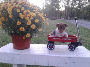 Jack Russell Terrier Puppy For Sale in BENTON, IL
