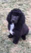 Poodle (Standard) Puppy For Sale in SPRING GROVE, IL