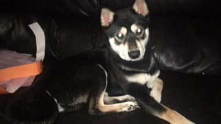 Shiba Inu Puppy For Sale in LEXINGTON, KY