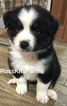 Small Photo #3 Australian Shepherd Puppy For Sale in SAINT JOHNS, FL, USA