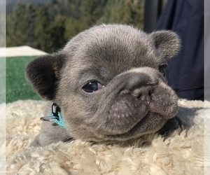 French Bulldog Puppy for Sale in PLACERVILLE, California USA