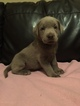 Labrador Retriever Puppy For Sale in GAFFNEY, SC
