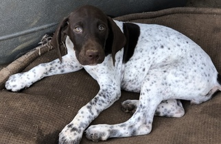 German Shorthaired Pointer Puppy For Sale in LOCUST GROVE, VA, USA