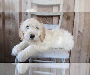 Goldendoodle Puppy for Sale in PORT TREVORTON, Pennsylvania USA