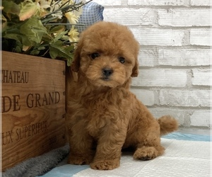 Poodle (Toy) Puppy for Sale in SAN MATEO, California USA