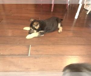 German Shepherd Dog Puppy for sale in CHESAPEAKE, VA, USA