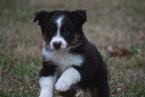 Miniature Australian Shepherd Puppy For Sale in MAGNOLIA, Texas,