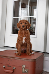 Labradoodle Puppy For Sale in MANSFIELD, OH, USA