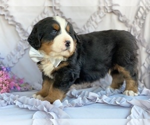 Bernese Mountain Dog Puppy for sale in LANCASTER, PA, USA