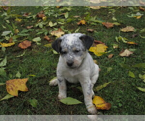Australian Cattle Dog-Rat Terrier Mix Puppy for Sale in KINGMAN, Indiana USA
