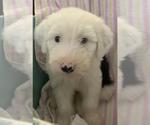 Puppy 6 Old English Sheepdog