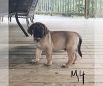 Small #4 Mastiff