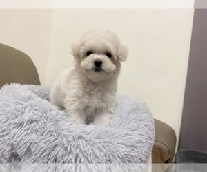 Poodle (Toy) Puppy for sale in LONG ISLAND CITY, NY, USA