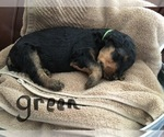 Puppy 5 Airedale Terrier