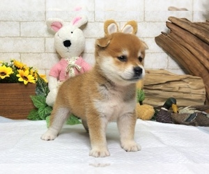 Shiba Inu Puppy for sale in BEVERLY HILLS, CA, USA