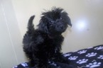 Yo-Chon Puppy For Sale in PATERSON, NJ