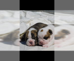 Bulldog Puppy for sale in MOUNT AIRY, NC, USA