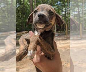 Mountain Cur Puppy for sale in SPENCER, TN, USA
