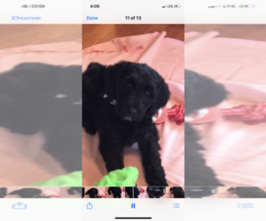 Goldendoodle Puppy for Sale in CO BLUFFS, Iowa USA