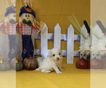 Small #10 Poodle (Toy)