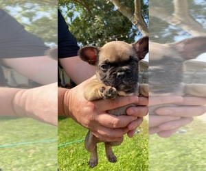 French Bulldog Puppy for Sale in ATWATER, California USA