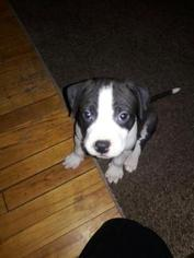 American Pit Bull Terrier Puppy For Sale in FRIDLEY, MN