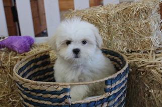 Shih-Poo Puppy For Sale in MURRIETA, CA