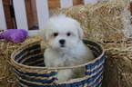 Shih-Poo Puppy For Sale in MURRIETA, CA
