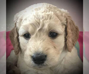 Goldendoodle Puppy for sale in CAMBRIDGE, WI, USA