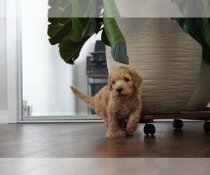 Goldendoodle Dog for Adoption in CITY OF SPOKANE VALLEY, Washington USA