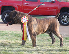 Boerboel Puppy For Sale in SAINT LOUIS, MO