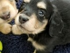 Dachshund Puppy For Sale in LONGMONT, CO, USA