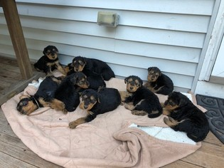 Airedale Terrier Puppy for sale in FALMOUTH, ME, USA