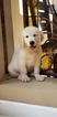 Golden Retriever Puppy For Sale in MIAMI, FL, USA