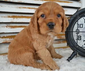 Cocker Spaniel Dog for Adoption in HONEY BROOK, Pennsylvania USA