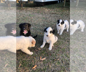 Border Collie-Unknown Mix Puppy for sale in BURKEVILLE, TX, USA