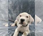 Small #23 Dogo Argentino