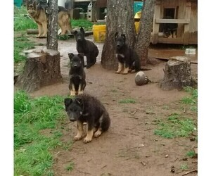 German Shepherd Dog Puppy for Sale in GASTON, Oregon USA