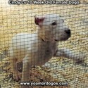 Small Photo #92 Dogo Argentino Puppy For Sale in PINEVILLE, MO, USA
