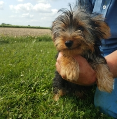 Yorkshire Terrier Puppy For Sale in ARTHUR, IL