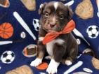 Australian Shepherd Puppy For Sale in EAST EARL, PA, USA