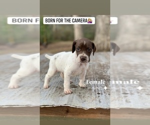 German Shorthaired Pointer Puppy for sale in ROCK HILL, SC, USA