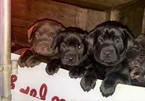 Labrador Retriever Puppy For Sale in GERMANTOWN, IL, USA