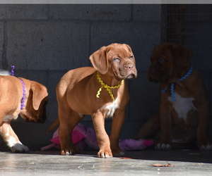 Dogue de Bordeaux Puppy for sale in DRESDEN, OH, USA