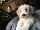 Poodle (Standard) Puppy For Sale in CONWAY, AR