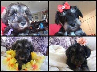 Schnauzer (Miniature) Puppy for sale in CLERMONT, FL, USA